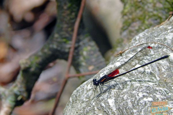 fauna del Parque Nacional El Ávila